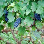 pinot-noir-rulandske-modre-vinoguru