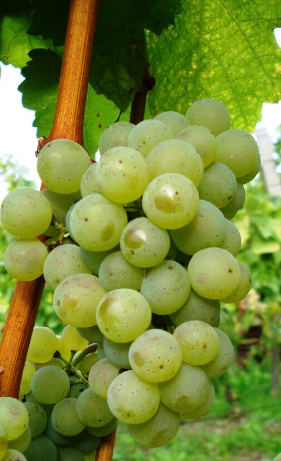 silvanske-zelene-vinoguru