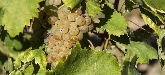 Čo sú naturálne vína