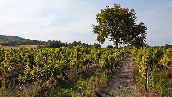 Slovensko súrne potrebuje nové vinice