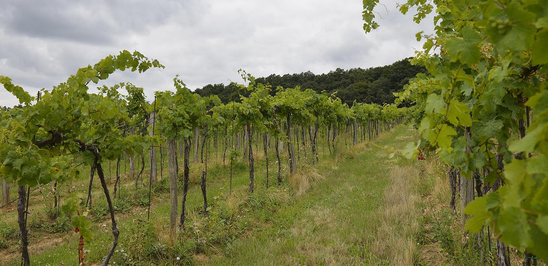 Vinárstvo Radošina - Vinohrady