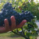 vinarstvo_cavojsky_hrozno
